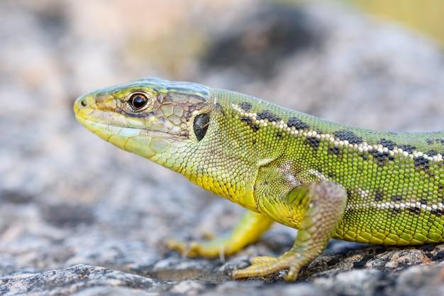 European green lizard, lacerta bilineata.