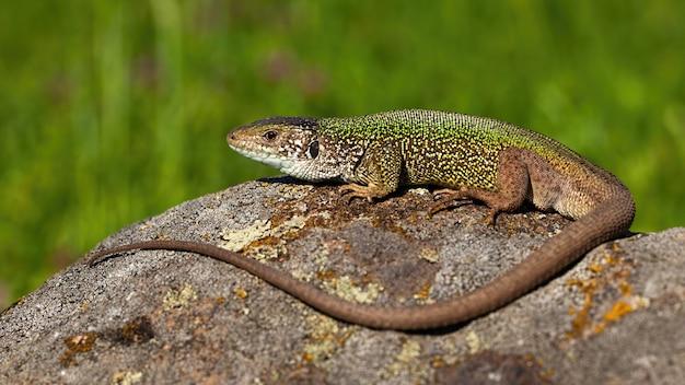 European green lizard male sunbathing on stone in summer