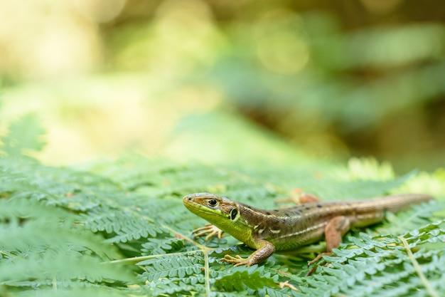 European green lizard in nature