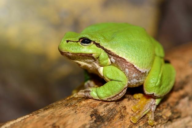 유럽 녹색 나무 개구리 (hyla arborea 이전 rana arborea).