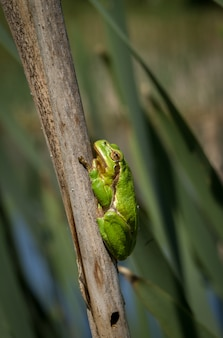 European green tree frog hyla arborea in natural environment