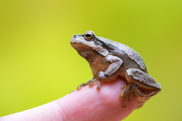 European green tree frog sitting on a finger