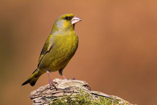 Европейский зеленушка сидит на дереве в осенней природе