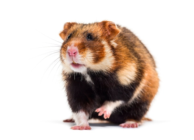 European hamster, cricetus cricetus in front of white surface