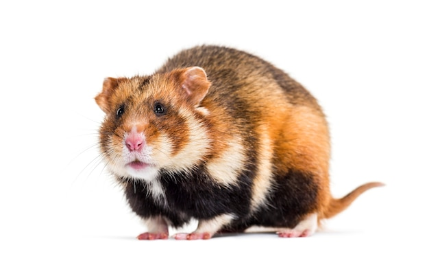 European hamster, cricetus cricetus, in front of white