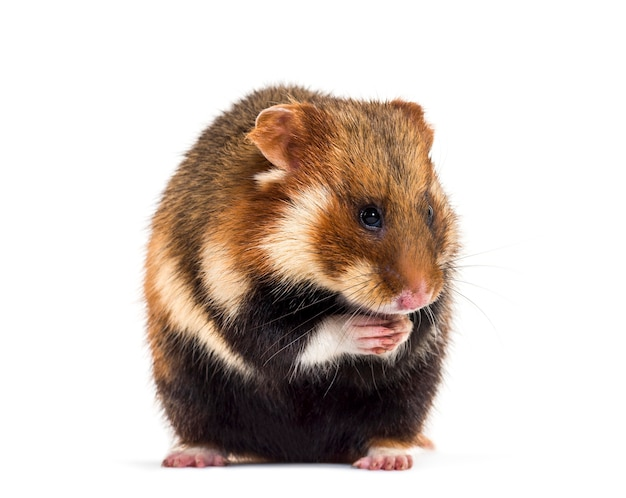 European hamster, cricetus cricetus, sitting in front of white surface