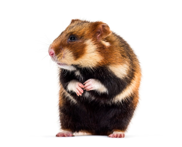 European hamster, cricetus cricetus, sitting in front of white