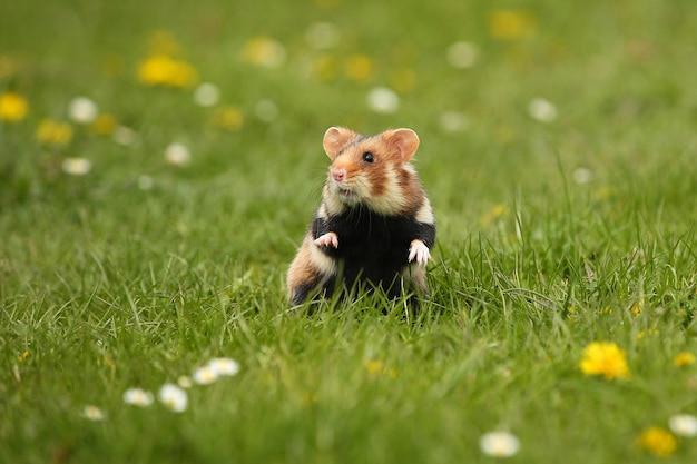European hamster on a flowering meadow