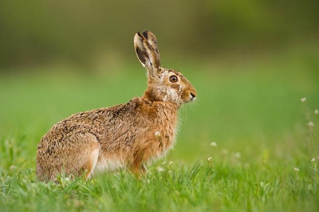 春の自然のヨーロッパのウサギ
