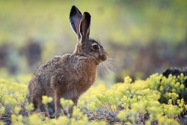 Европейский заяц стоит в траве и смотрит в камеру