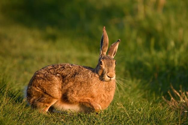 Европейский заяц стоит в траве и смотрит