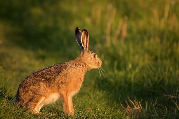 ヨーロッパのノウサギは美しい夜の光であるlepus europaeusの芝生の上に立つ