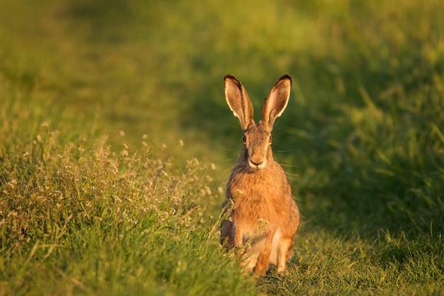 ヤブノウサギは美しい夜の光(lepuseuropaeus)の草の上に立っています。