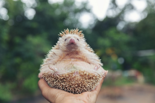 European hedgehog on hands in the natural garden habitat.