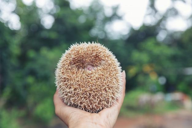 European hedgehog on hands in the natural garden habitat.