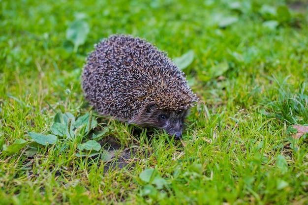 European hedgehog on meadow