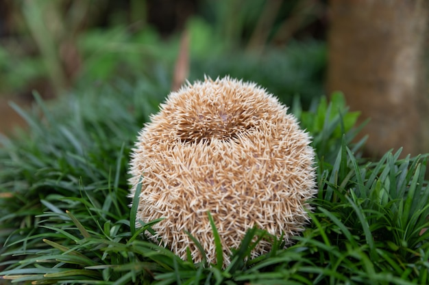 European hedgehog in natural garden habitat with green grass.