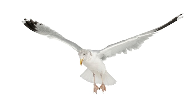 Европейская сельдь чайка larus argentatus летающих изолированные