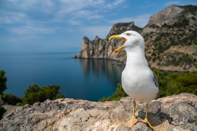 European herring gull portrait close-up.