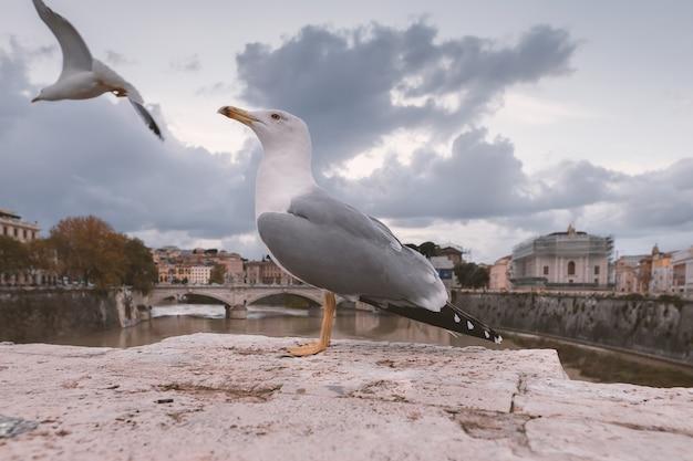 ヨーロッパセグロカモメは、イタリアのローマのテヴェレ川の堤防に座っています