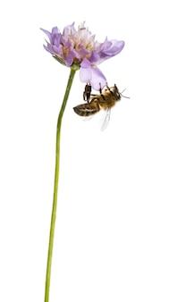 Европейская медоносная пчела приземлилась на цветущее растение, кормясь, apis mellifera, изолированным на белом