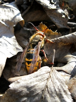 European hornet in its natural environment among dry fallen leaves