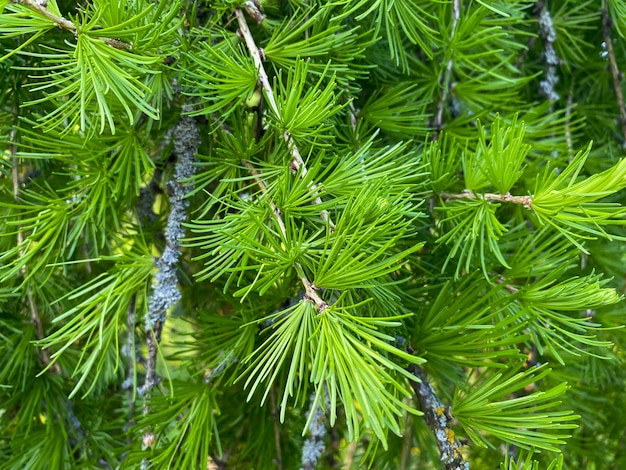 Ветка лиственницы европейская larix decidua pendula
