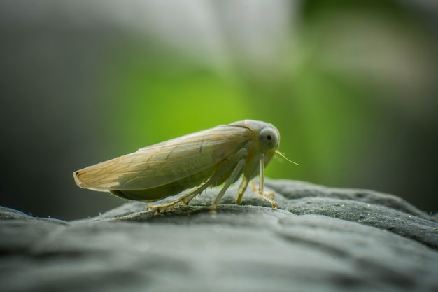 European leafhopper, close-up on mint leaves, incredible wildlife