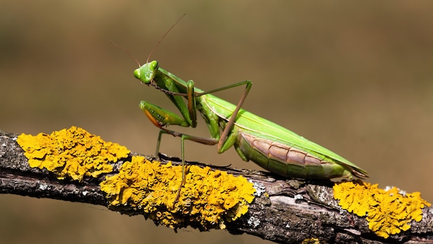 European mantis standing on a branch with yellow moss and looking into camera