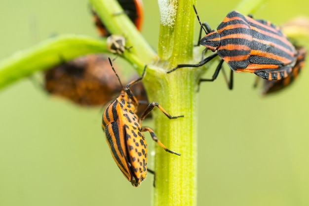 ヨーロッパのカメムシまたはイタリアの縞模様のカメムシ(graphosoma lineatum)が草の群れを登っています。