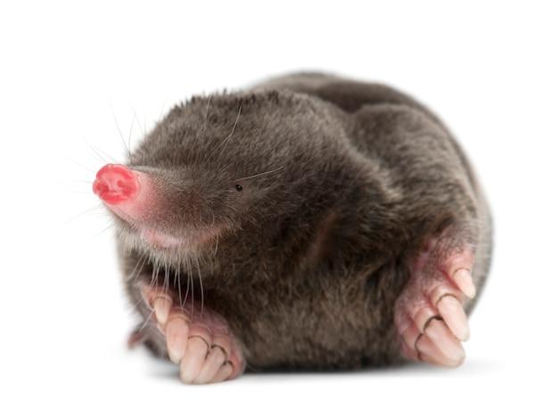 European mole, talpa europaea, against white wall isolated