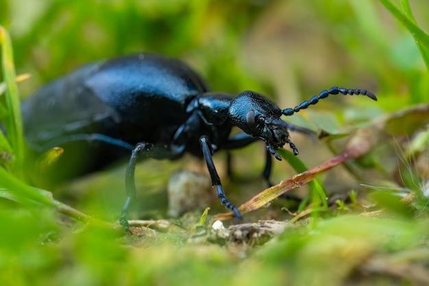 유럽 기름 딱정벌레 (meloe proscarabaeus)가 바닥에 앉아 있습니다.