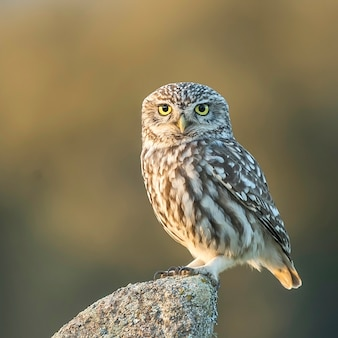 European owl perched on a stone