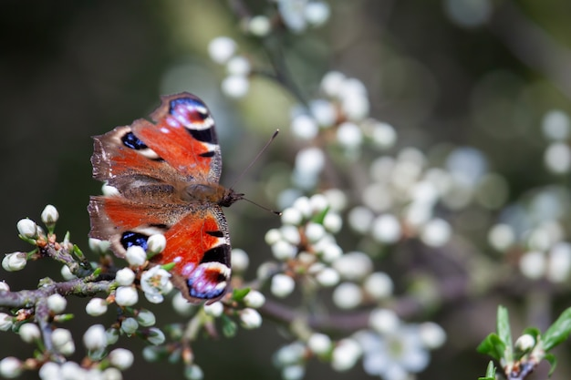 Павлинья бабочка (inachis io) покоится на цветке дерева