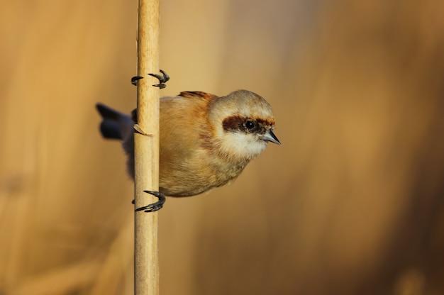 自然の中で杖の上に座ってヨーロッパのペンデュリンシジュウカラremiz pendulinus