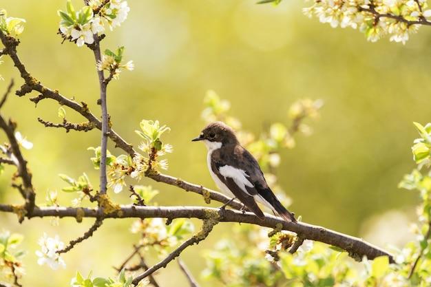 マダラヒタキficedulahypoleuca、小さなスズメ目の鳥。