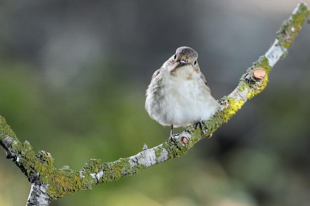 유럽 얼룩 날새 ficedula hypoleuca, 몰타, 지중해