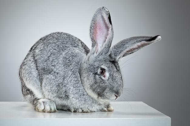 Европейский кролик или обыкновенный кролик, 2 месяца, oryctolagus cuniculus на сером фоне