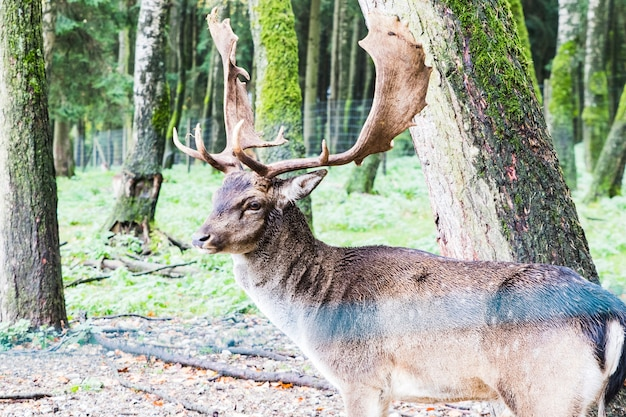 European red deer in the forest