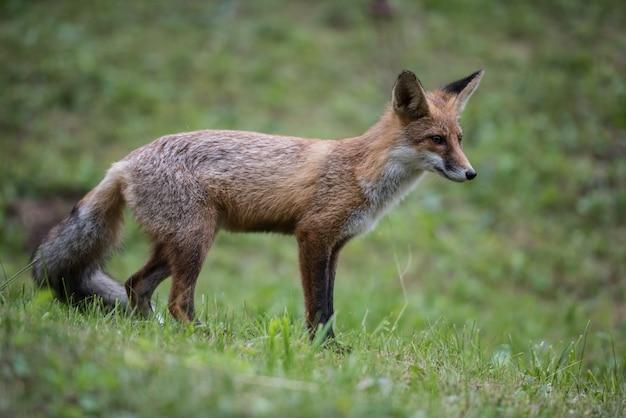 European red fox.