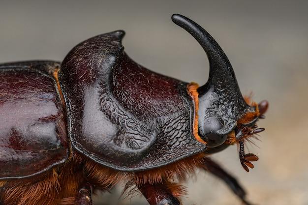European rhinoceros beetle (oryctes nasicornis) male