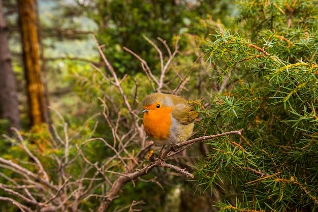 European robin (erithacus rubecula) in escuain, ordesa and monte perdido national park, spain