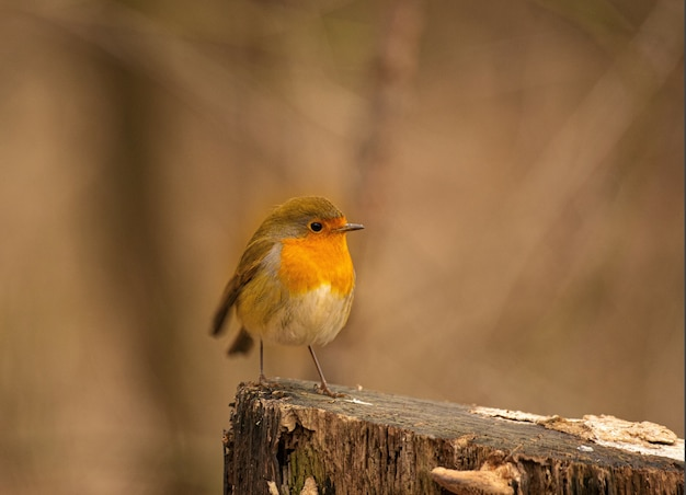 European robin (erithacus rubecula) on the tree stump with blurred background