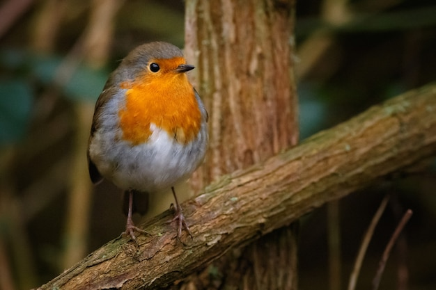 European robin sitting on a tree branch in a forest