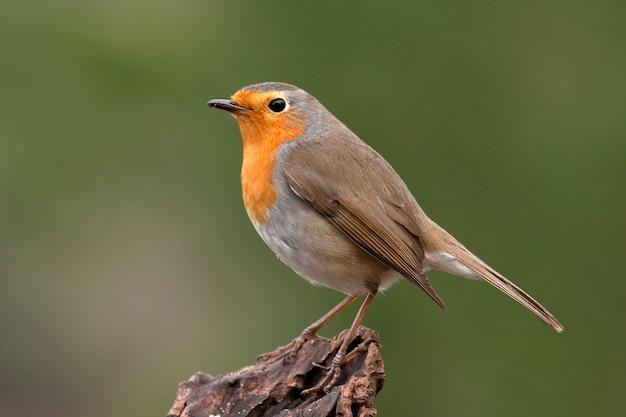 ヨーロッパのロビン、歌の鳥、鳥、スズメ目、erithacus rubecula