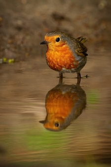 European robin standing in water with reflection on surface