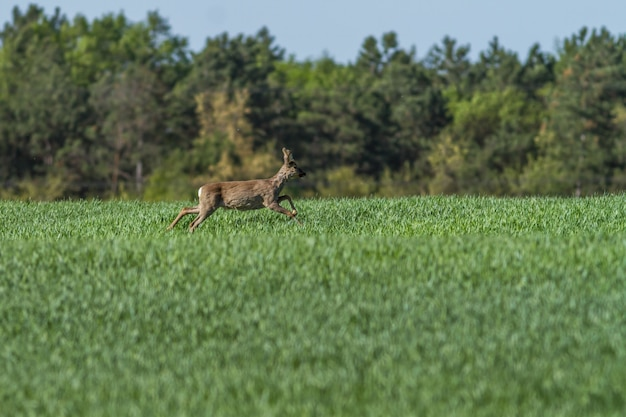 European roebuck in springtime on the cereal field with spring coat