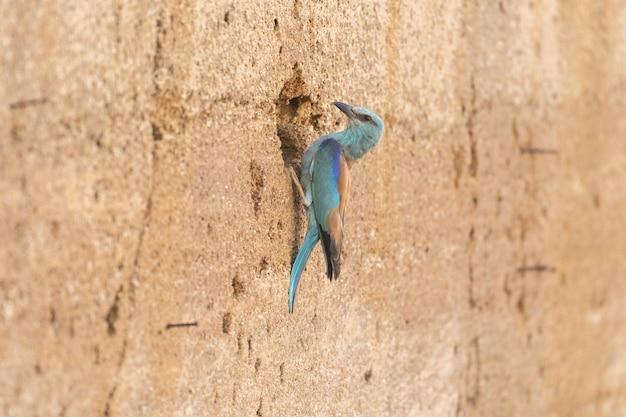 European roller or coracias garrulus sitting next to the nest hole.