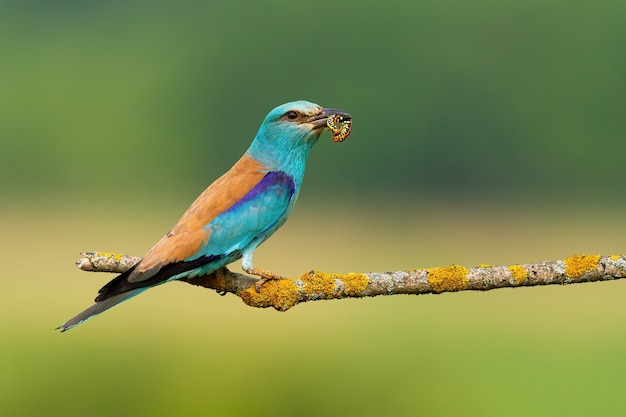 European roller holding caterpillar on tree with copy space