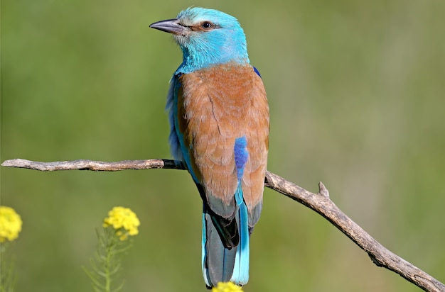 European roller sits on a branch and sings during the mating season.